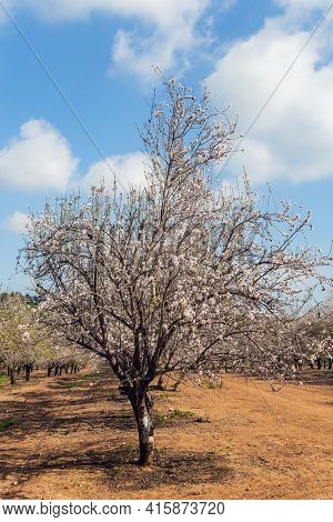 Sunny warm spring day in February. Israel. Grove of almond trees in spring bloom. Picturesque alley of flowering almond trees. Warm sunny february day.