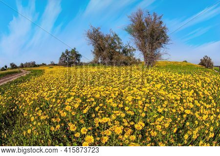 Spring bloom of the Negev Desert in Israel. Field of blooming daisies in the bright southern sun. Blue sky and light clouds. Magnificent blooming spring.