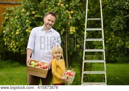 Little Boy With His Father Picking Apples In Orchard. Child And Dad Resting During Harvest. Harvesti