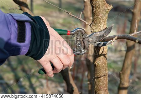 Spring Pruning Of Garden Trees. The Gardener Cuts The Branches With A Pruner. Pruning Trees By Hand.