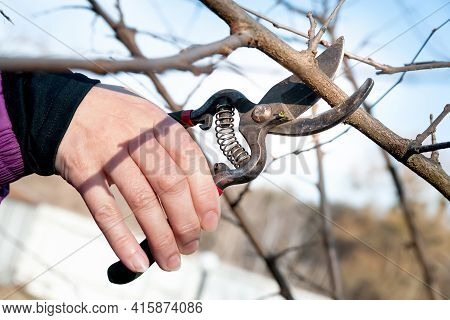 Spring Pruning Of Garden Trees. Gardener Cuts The Branches With A Pruner. Close-up Of Tree Pruning B