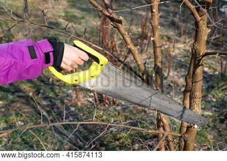 Spring Pruning Of Trees. The Gardener Is Cutting The Branches With A Saw. Pruning Trees By Hand. Spr