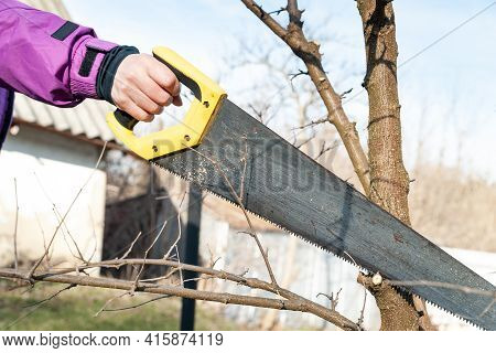 Spring Pruning Of Garden Trees. Gardener Is Cutting The Branches With A Saw. Pruning Trees By Hand.