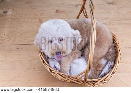 Cute Poodle Dog Resting In Rattan Basket Bed On Wooden Floor