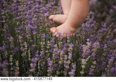 Babys Feet Touching Lavender, Feeling Nature. Cute Baby Feet In Lavender. Purple Lavender In Blossom
