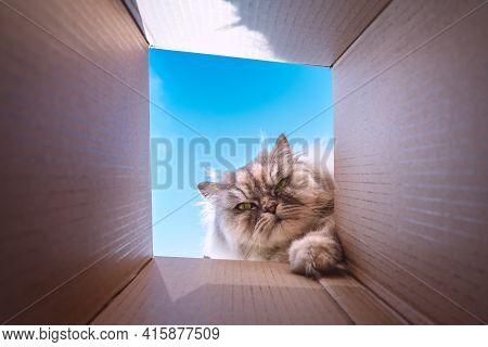 Funny Playful Grumpy Cat Looking Inside A Cardboard Box. Curious Cat Checking Carton Box