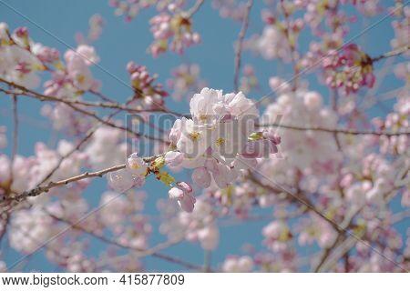 Delicate And Beautiful Cherry Blossom Against Blue Sky Background. Sakura Blossom. Japanese Cherry B