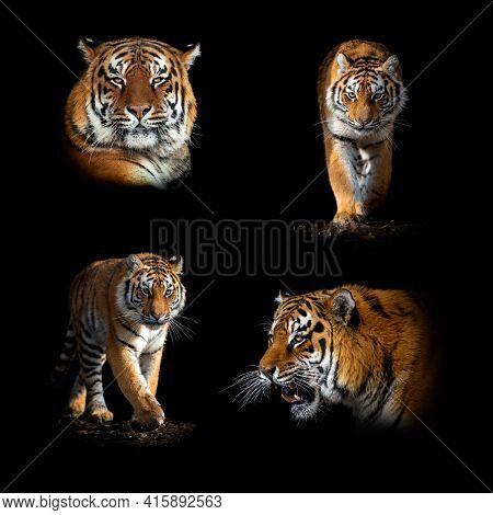 Set Of Many Tiger. Wildlife Animal Isolated On Black Background