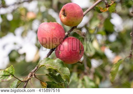 Young Apples Ripen On The Tree Against The Sky