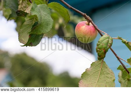 Young Apples Ripen On The Tree Against The Sky.