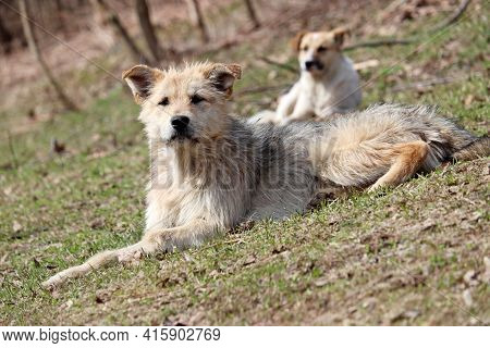 Stray Dogs Lying On A Grass In Spring Park