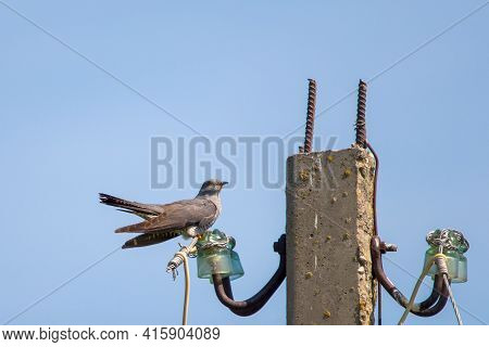 Cuckoo Or Cuculus Canorus, Single Bird On Post.