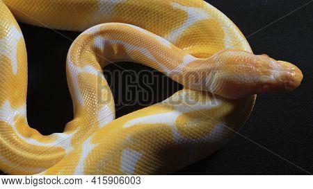 Photo Of Small Albino Ball Royal Phyton On Dark Texture