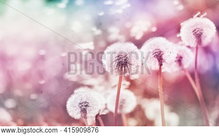 Summer Meadow With Fluffy Dandelion Flowers And Flying Seeds. Beautiful Nature Background With Vinta