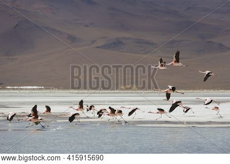 Group Of Flamingos Flying On The Lagoon, Bolivia