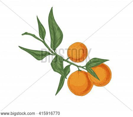 Leaves And Fruits Of Tangerine Growing On Mandarin Tree Branch. Fresh Ripe Clementines On Twig. Real