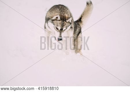 Husky Dog Play, Hunting And Jumping Outdoor In Snow, Snowdrift. Pet Play In Winter Day. Husky Dog Pl
