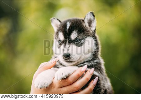 Four-week-old Husky Puppy Of White-gray-black Color Sitting In Hands Of Owner. Four-week-old Husky P