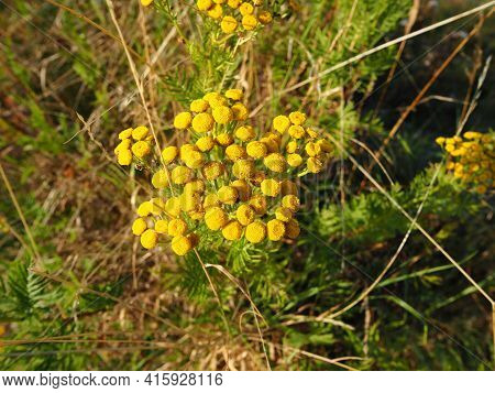Beautiful Yellow Tansy (tanacetum Vulgare) Flowers Grow In A Field In Nature