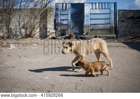 Two Dogs. Red-haired Two Dogs Running In The Yard. Adult And Puppy. Cute Red-haired Dog. Homeless Hu