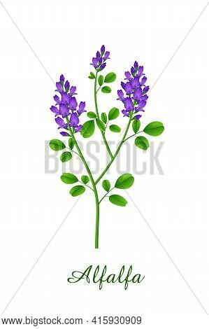 Alfalfa Plant, Green Grasses Herbs And Plants Collection, Realistic Vector Illustration