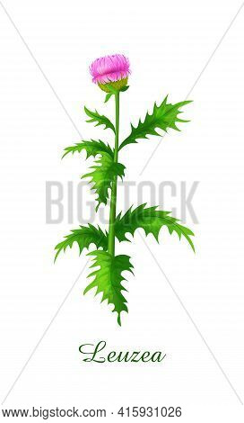 Leuzea Plant, Green Grasses Herbs And Plants Collection, Realistic Vector Illustration