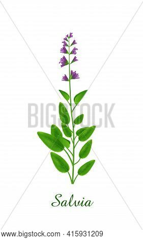 Salvia Plant, Green Grasses Herbs And Plants Collection, Realistic Vector Illustration