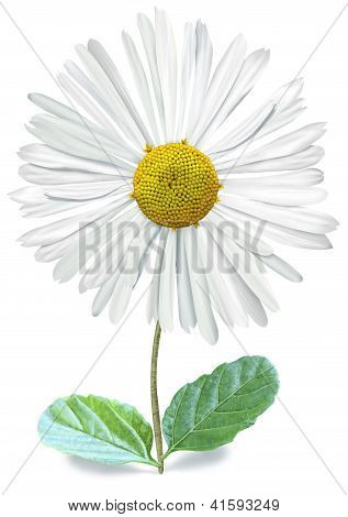 Isolated Single Bellis With Clipping Path