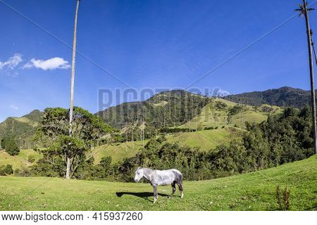 Small Gray Horse Standing In The Green Pastures Of Cocora Valley With Giant Wax Palms Near Salento,