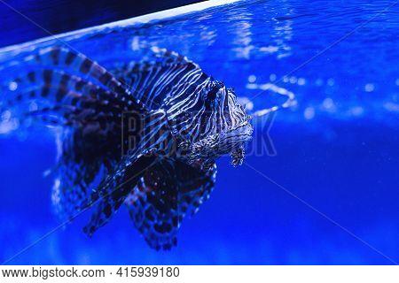 Amazing Lionfish In A Zoo Aquarium. Beautiful Lionfish In The Water. Scorpion Fish In The Aquarium.