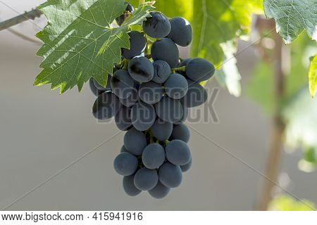 Bunches Of Isabella Grapes. Sunny Autumn Day. Front View. Close Up.