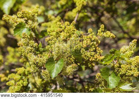 Grapevine Blooms, Springtime Grapevine Bloom, Close Up