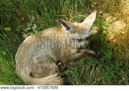 The Fennec  Fox Is Lying And Resting On The Grass.the Fennec Fox Vulpes Zerda Is A Small Crepuscular