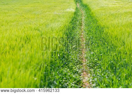 A Path Through Fields Of Rye. A Field With Ears Of Corn Through Which There Is A Well Trodden Path.