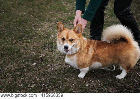 A Woman Releases A Red Corgi Puppy From A Leash So That It Can Run And Frolic. Dog Training In The F