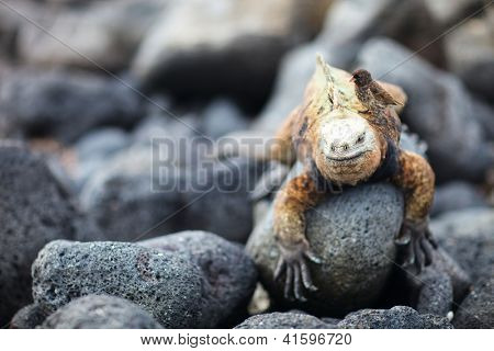 Galapagos finch sitting on male marine iguana