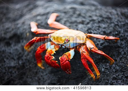 Sally lightfoot crab on a black lava rock poster