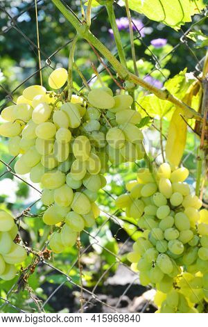 Growing Table Grape: A Close-up On Large Clusters Of Ripe Pleven Table Grapevine. Large Green Grape