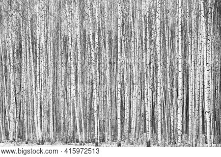 Trunks Of Winter Young Thin Birches Black And White