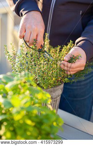 gardener picking thyme herb in flowerpot on balcony. urban container herb garden concept