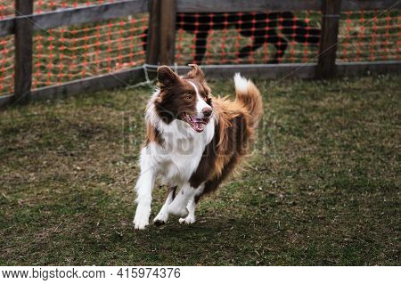 Brown Border Collie At Herding Service Training Runs Around Happy Under The Law With Its Tongue Hang