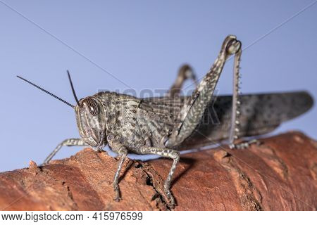 Locust Closeup, Locust Side View, Insect Pest, Grasshopper On A Blue Background