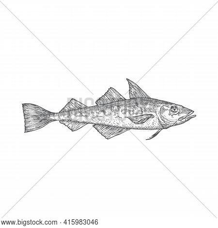 Atlantic Pollock Hand Drawn Doodle Vector Illustration. Abstract Fish Sketch. Engraving Style Drawin