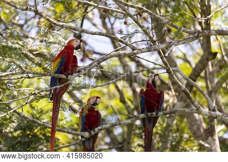 Tree Red Parrots On A Tree During A Rest On A Tropical Tree On Their Natural Habitat, Osa, Ara Penin