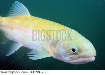 The Albino Rainbow Trout (oncorhynchus Mykiss) In The Lake.trout In Dark Water. Atypically White-yel
