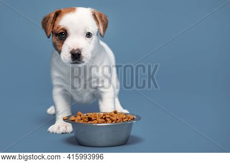 Little dog eating Puppy eats dog food from a bowl.  Studio Shot