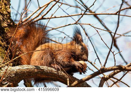 Sciurus. Rodent. A Squirrel Sits On A Tree And Eats A Nut. Beautiful Squirrel In The Park.