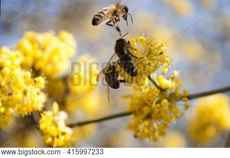 Three Honey Bees Collect Pollen From A Fruit Tree. Selective Focus. Dogwood In Bloom. Bee. Yellow Fl