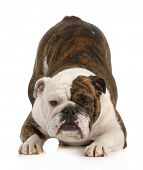 playful dog - english bulldog with bum up in the air isolated on white background poster