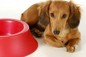 dog waiting to be fed - long haired miniature dachshund sleeping beside empty dog food dish isolated on white background poster